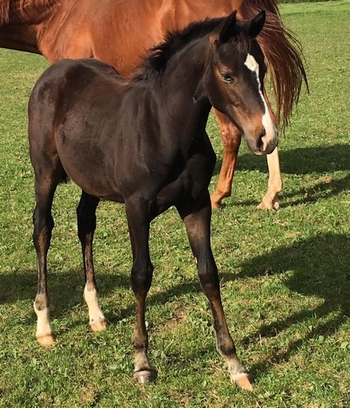 Hanoverian, Dark bay, Filly, Under 1