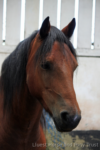 14hh Bright Bay 8yo Gelding looking for a special home- Charity rehome