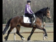 All Rounder horse - 4 yrs 15.1 hh Bay - Lancashire
