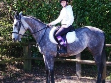All Rounder horse - 5 yrs 15.2 hh Grey - Surrey