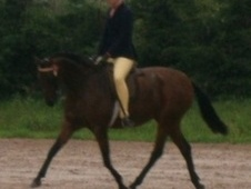 Showing horse - 13 yrs 13.2 hh Bay - Lancashire