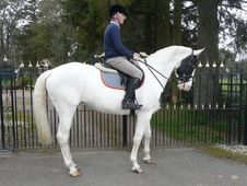 All Rounder horse - 9 yrs 16.2 hh Piebald - Lanarkshire