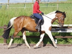 Milo Handsome Tricoloured warmblood