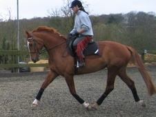 Dressage horse - 5 yrs 16.0 hh Chestnut - London