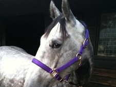 Ex Racehorses horse - 5 yrs 2 mths 16.1 hh Grey - West Sussex