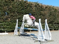 Eventers horse - 4 yrs 3 mths 15.2 hh Grey - Bedfordshire