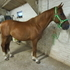 Dressage Prospect for sale,Rickmansworth, Middx
