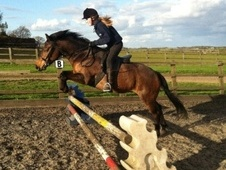 Pony Club Ponies horse - 6 yrs 13.2 hh Bay - Hertfordshire