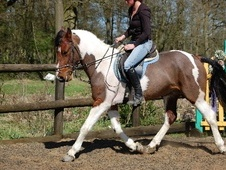 Cobs horse - 7 yrs 14.3 hh Coloured - Surrey
