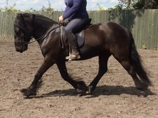 Quality Sec A Dales Gelding