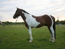 All Rounder horse - 4 yrs 15.2 hh Tri-Coloured - West Sussex