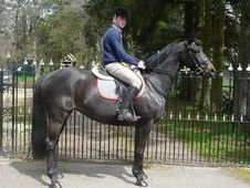 All Rounder horse - 8 yrs 16.0 hh Bay - Lanarkshire