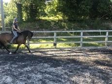 13.2hh Welsh Section B Mare