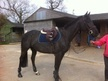 All Rounder horse - 8 yrs 16.0 hh Black - Kent
