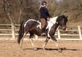 All Rounder horse - 5 yrs 15.1 hh Coloured - Cheshire