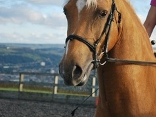 All Rounder horse - 5 yrs 14.2 hh Palomino - West Yorkshire