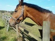 All Rounder horse - 12 yrs 1 mth 15.3 hh Bay - Kent