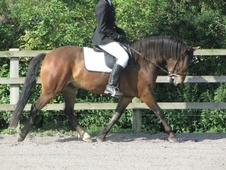 All Rounder horse - 6 yrs 13.2 hh Bay - Avon