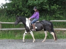 Sharer Wanted (n Cornwall) For Our 15. 2hh 4 Year Old Bay Tobiano...