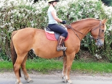 *safe* 16. 3hh Quality Irish Draught Mare 12yrs