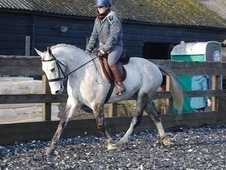 Super 5YRS mw irish gelding