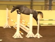 Show Jumpers horse - 4 yrs 16.1 hh Grey - Essex