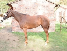 Ex Racehorses horse - 4 yrs 16.1 hh Liver Chestnut - South Yorkshire