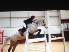 Show Jumpers horse - 9 yrs 16.1 hh Grey - Buckinghamshire
