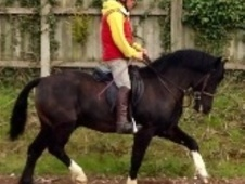 Mountain & Moorland horse - 5 yrs 13.0 hh Black - Derbyshire