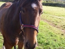 Lovely 15. 2 Mare For Permanent Loan As Companion