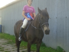 14. 1hh mare for sale