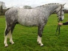 All Rounder horse - 6 yrs 15. 3 hh Dapple Grey - East Sussex
