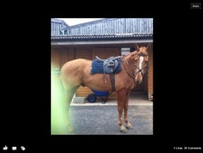All Rounder horse - 12 yrs 16.1 hh Chestnut - North Yorkshire