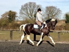16h coloured gelding with wow factor