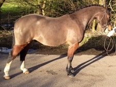 Cracking 12. 3hh Allrounder/PC/SHP/WHP