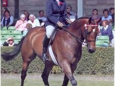 All Rounder horse - 9 yrs 15. 1 hh Bay