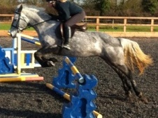 All Rounder horse - 5 yrs 11 mths 14.2 hh Dapple Grey - Lincolnshire