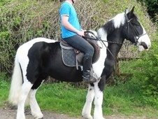 Family horse - 6 yrs 6 mths 15.0 hh Piebald - West Midlands