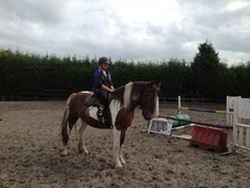 Very Quiet 16. 2hh Coloured Cob For Sale