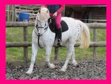 Striking Spotted Gelding 138cm 13. 2hh SJ / XC / HUNTING pony clu...