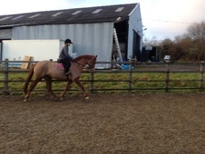 All Rounder horse - 7 yrs 16.2 hh Chestnut - Cheshire