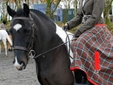 All Rounder horse - 10 yrs 1 mth 14.1 hh Piebald - Devon