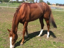 All Rounder horse - 3 yrs 6 mths 15.1 hh Chestnut - Kent