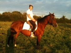 Light Hacks horse - 10 yrs 15.2 hh Dark Brown - Kent