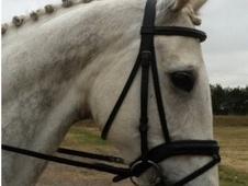 Dressage horse - 9 yrs 2 mths 16.1 hh Grey - Cambridgeshire