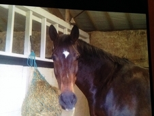 16. 2 Tb Bay Gelding For Sale 16 Yrs Old