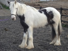 Young Stock  horse - 2 yrs 15.1 hh Piebald - West Yorkshire