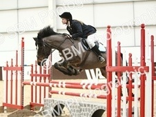 14.1 one in million showjumping pony new forest area - Hampshire