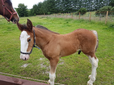 Foal - Clydesdale