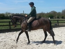 Spanish / Iberian horse - 5 yrs 1 mth 16.0 hh Bay - Essex